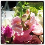 Snapdragons from the farm